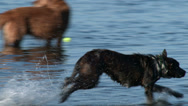 Stock Video Footage of dog, park, wet, fetch, run, swim, play