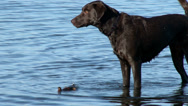 Stock Video Footage of dog, wet, fetch, swim, play, Retriever