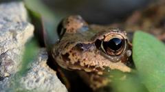 Tree frog closeup breathes about stone summer macro Stock Footage