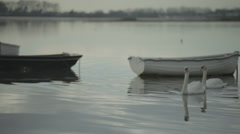 Swans swimming through old dinghies Stock Footage