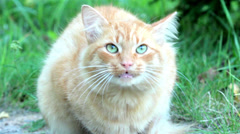 Red cat sitting on the grass and loud meows Stock Footage