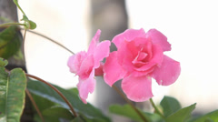 Pink Flowers, Nature, Brazil,  Stock Footage