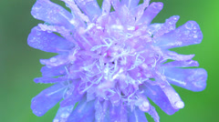 Blue meadow flower closeup with large dew drops macro Stock Footage