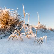Reeds in the snow Stock Photos