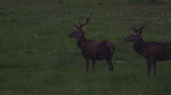 Wild deer on meadow Stock Footage