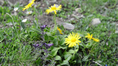 Arnica flower in european alps. Herbal plant. Stock Footage