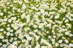 white blossoming camomiles - stock photo