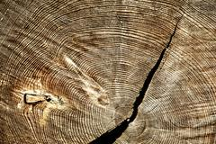 Severing cut of tree with  shake annual rings Stock Photos