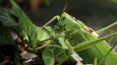 Grasshopper locust on poison ivy macro Stock Footage