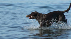 A Dog Swimming and Fetching In an Off Leash Park Stock Footage