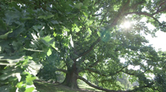 Big oak tree Stock Footage