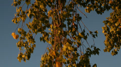 Birch leaves fall storm sunset Stock Footage