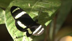 P03240 Butterfly in Costa Rica Jungle Stock Footage