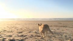 Dog Fetching Ball at the Beach Stock Footage