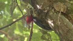 P03241 Woodpecker in Costa Rica Jungle Pecking for Insects Stock Footage