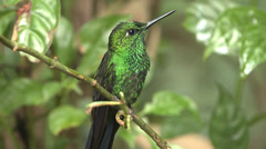 P03229 Brilliant Green Hummingbird in Tropical Jungle Stock Footage