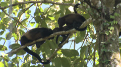 P03215 Howler Monkeys on Branch in Costa Rica Stock Footage