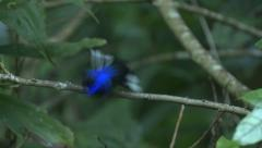 P03225 Violet Sabrewing Hummingbird in Jungle Darkness Stock Footage