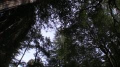 P03205 Shot of Old Growth Redwoods Overhead Spinning Stock Footage