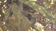 P03246 Sloth Hanging Upside Down in Tree with Baby Stock Footage