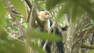 Stock Video Footage of P03242 White-faced Capuchin Monkey Being Lazy in Tree