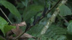 P03226 Hummingbirds on Branch in Tropics Stock Footage