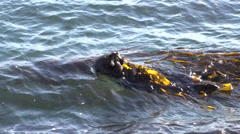 P03202 Sea Otter Wrapped in Kelp in California Stock Footage
