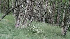Birch grove summer wind Stock Footage