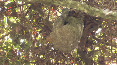 P03247 Sloth in Tree Canopy at Manual Antonio Park - stock footage