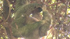 P03244 Female Sloth in Tree in Costa Rica Scratching Stock Footage