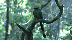 P03235 Motmot Bird in Costa Rica Jungle Stock Footage