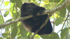 P03216 Howler Monkey Resting on Branch in Costa Rica Stock Footage