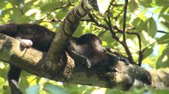 P03214 Howler Monkey Sleeping on Branc Stock Footage