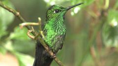 P03230 Hummingbird in Costa Rica Jungle Stock Footage