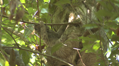 P03221 Three-toed Sloth Baby in Costa Rica Manual Antonio Park Stock Footage