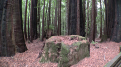 P03207 Stump in California Redwood Forest Stock Footage