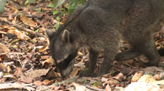 P03210 Raccoon Foraging on Ground in Costa Rica Stock Footage