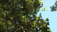 Stock Video Footage of P03243 White-faced Capuchin Monkey Leaping Between Trees