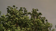 Stock Video Footage of Oak Tree imminent thunderstorm