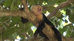 P03250 White-faced Capuchin Monkey Laying on Branch Stock Footage