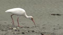 P03211 White Ibis Shorebird Feeding in Estuary at Manual Antonio Costa Rica Stock Footage