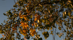 Birch branch leaves autumn wind sunset - stock footage