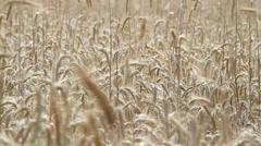 Field of ripe rye Stock Footage