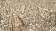 Stock Video Footage of Field of ripe rye