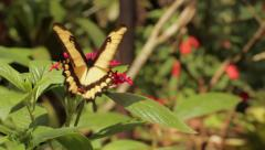 BUTTERFLY ON A FLOWER CLOSE-UP Stock Footage
