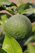 green lemon, limon, citrus on branch, miao, arunachal pradesh, india - stock photo