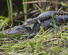 baby alligators - stock photo