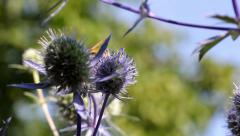 Wasp on thistle long Stock Footage
