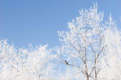 brunches or the trees covered with snow and a blue winter sky - stock photo