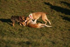 Puppies Playing In The Grass And Slam. - stock photo